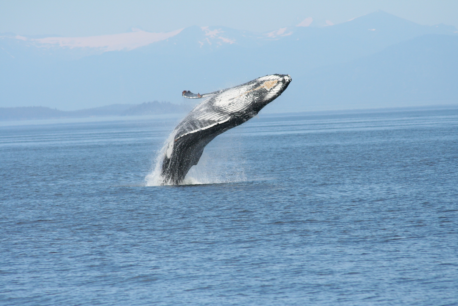 Breaching Humpback whales in Frederick Sound, Alaska